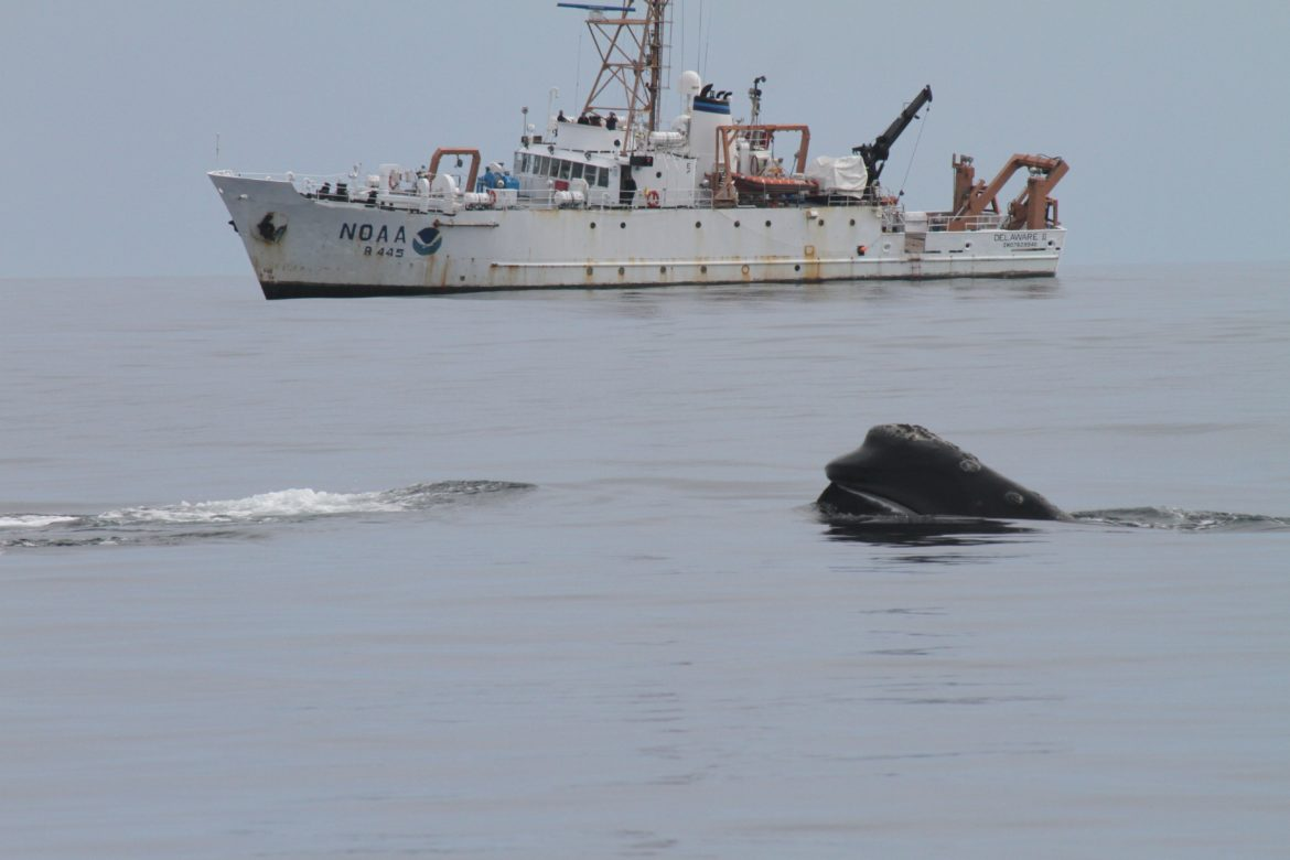 Scientists say Vineyard Wind project poses little risk to endangered whales
