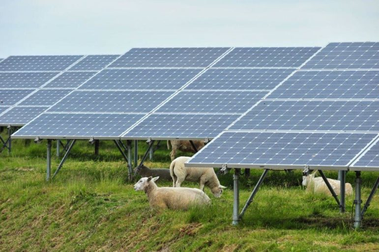 A group of sheep — some grazing, some resting — among solar panels.